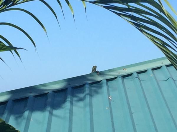 Roof Lizard