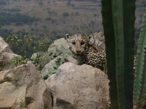 Hidden Cheetah